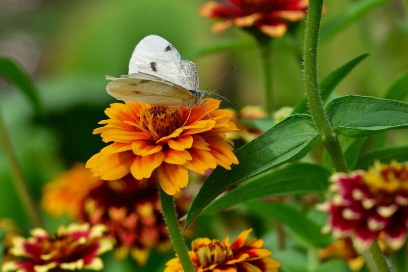 Zinnia elegans (Zinnia) - butterfly in a zinnia - www.dearplants.com