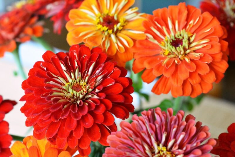 Zinnia elegans (Zinnia) - orange and red zinnias - www.dearplants.com