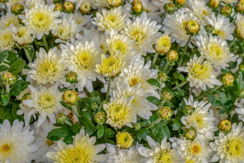 Chrysanthemum - white flowers - www.dearplants.com