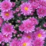 Chrysanthemum - www.dearplants.com