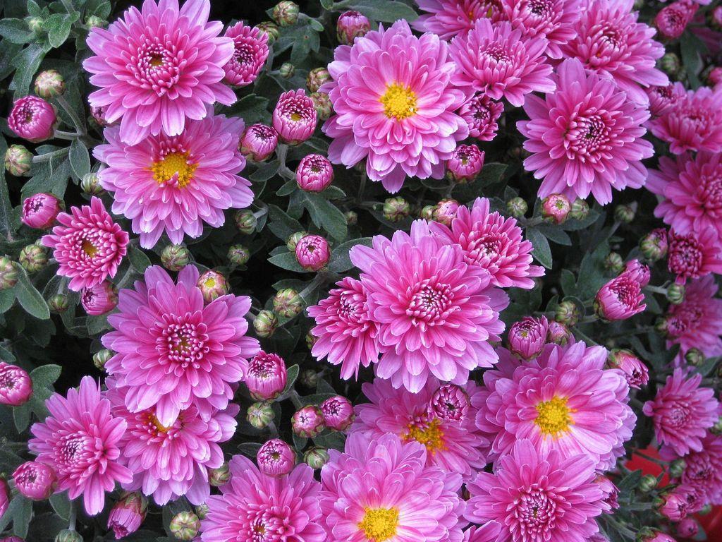 Chrysanthemum - www.dearplants.com