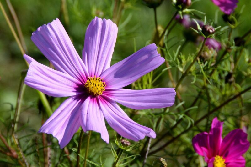 Cosmos bipinnatus (Cosmea) - purple cosmea - www.dearplants.com