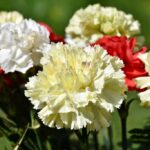Dianthus caryophyllus (carnation or clove pink) - flowers in several colors - www.dearplants.com