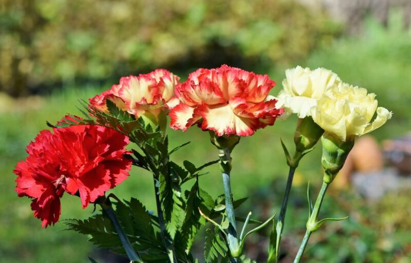 Dianthus caryophyllus (carnation or clove pink) - red and white - www.dearplnats.com