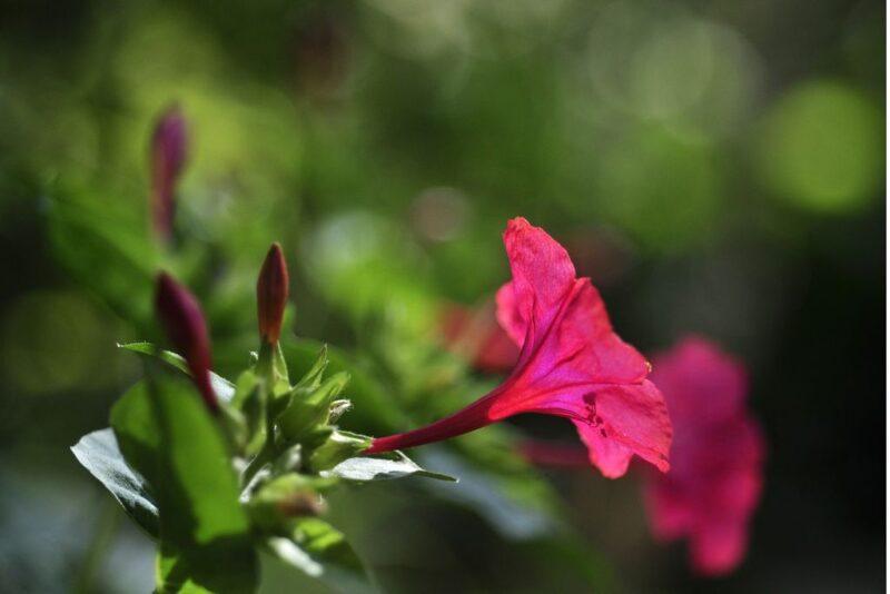 Mirabilis jalapa (Marvel of Peru) - blossom - www.dearplants.com