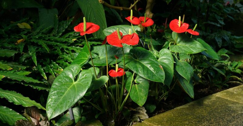 Anthurium andraeanum (Tail flower or Flamingo flower) - Anthuriums under planting trees and shrubs - www.dearplants.com