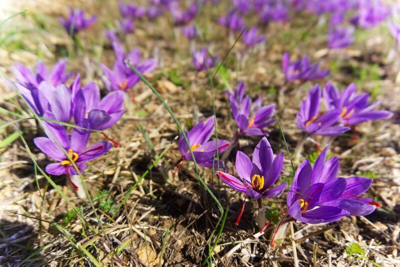 Crocus sativus (Saffron) - saffron plant in soil - www.dearplants.com