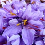 How to plant and grow Crocus sativus (Saffron) - www.dearplants.com