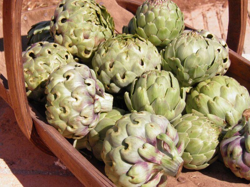 How to plant Cynara cardunculus (Globe artichoke) - harvesting artichoke