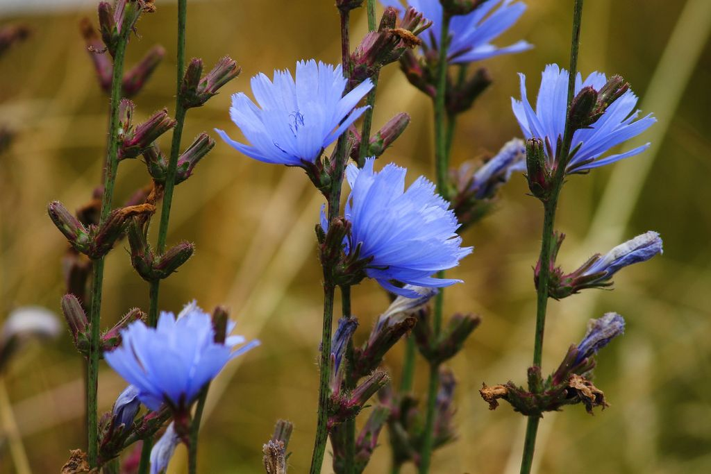 How to plant and grow chicory (Cichorium intybus) - Chicory blue flowers - www.dearplants.com