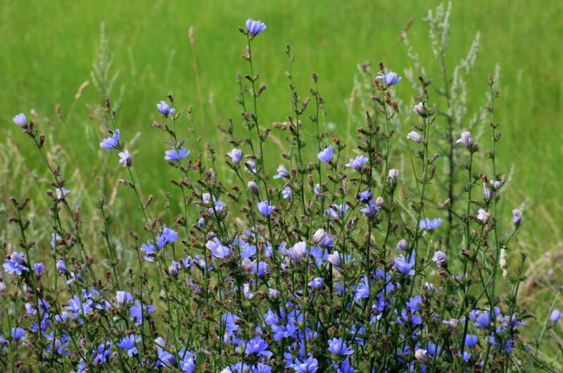 How to plant and grow chicory (Cichorium intybus) - Chicory in field www.dearplants.com