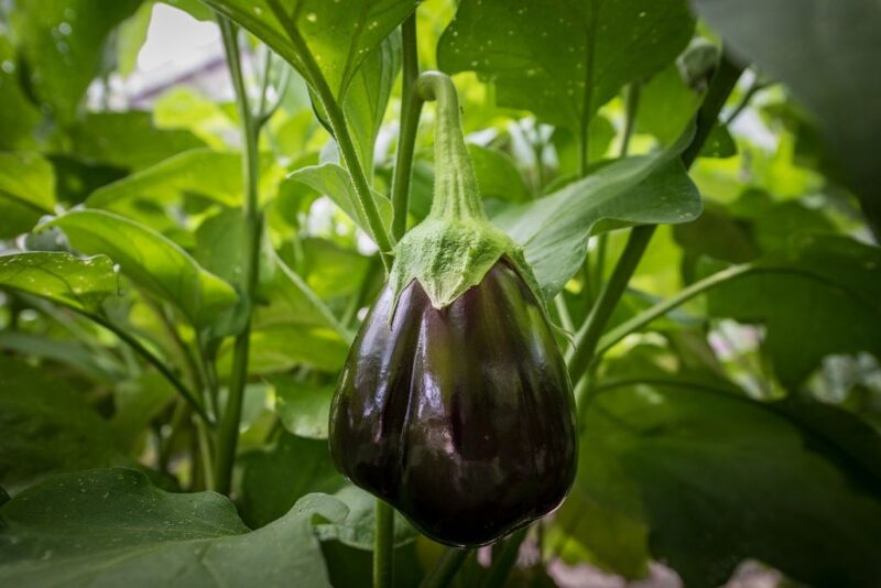 How to plant and grow eggplant or aubergine (Solanum melongena) - eggplant fruit growing - www.dearplants.com
