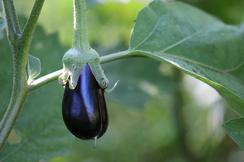 How to plant and grow eggplant or aubergine (Solanum melongena) - www.dearplants.com