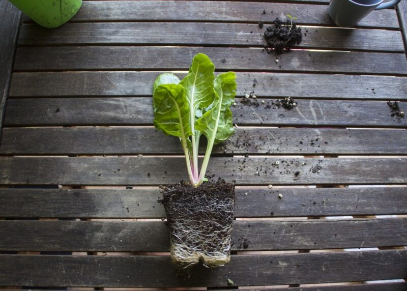 How to plant and grow swiss chard (Beta vulgaris subsp. vulgaris) - seedling ready to be planted -www.dearplants.com