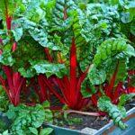 How to plant and grow swiss chard (Beta vulgaris subsp. vulgaris) - www.dearplants.com