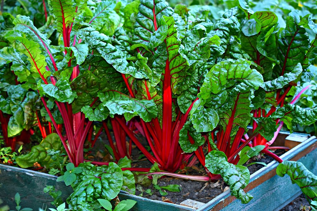 How to plant and grow swiss chard (Beta vulgaris subsp. vulgaris) - www.dearplants.com